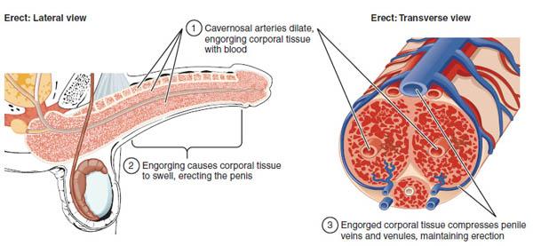 Causes bigger penis